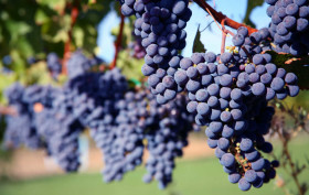 biocarburanti da scarti di uva