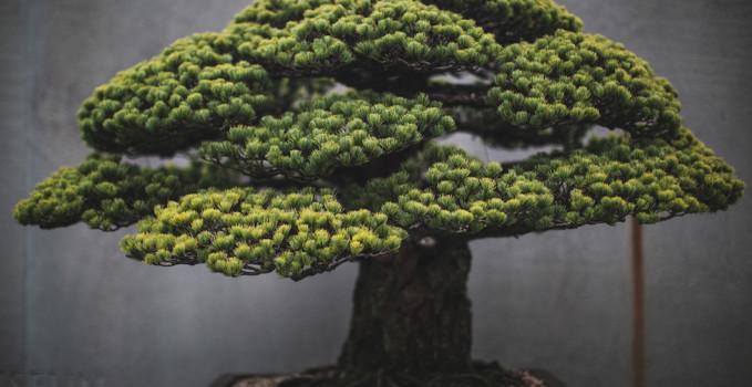 bonsai fotografato da Voss