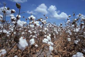 Cottonforlife