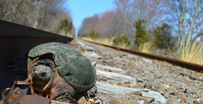 tartaruga-attraversa-binari
