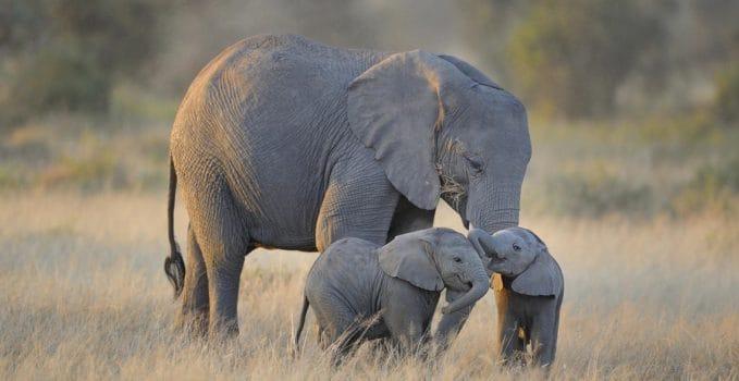 elefanti della savana africana
