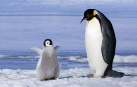 pinguini-in-antartide