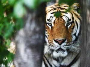 Le tigri sono a rischio d'estinzione