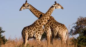 giraffa-a-rischio-estinzione