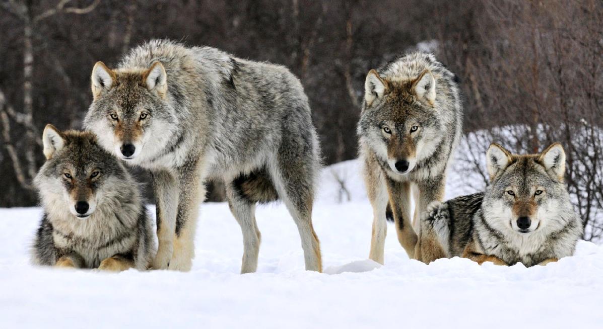 lupi-norvegesi-salvi