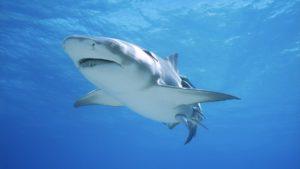 Nel mar Mediterraneo più della metà delle specie di animali marini come squali, razze e chimere è a rischio estinzione.