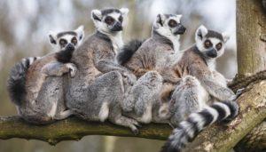 Il 60% delle specie di primati non umani è in via di estinzione