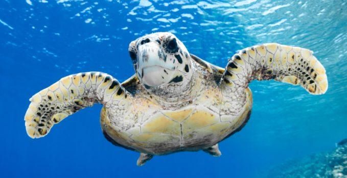 Domani inaugura a portici il centro ricerche tartarughe marine for Tartarughe marine letargo