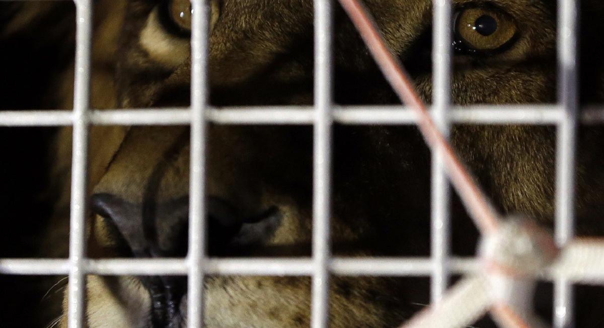 Anche Madrid e Bucarest dicono basta agli animali nei circhi