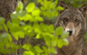 Salviamo i lupi dall'abbattimento