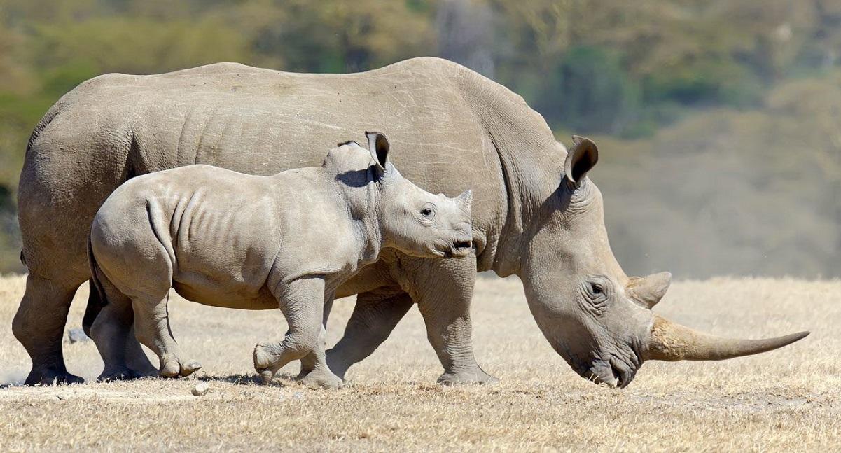 Risultati immagini per rinoceronte