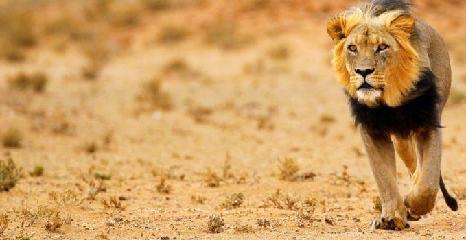 leone-kalahari-botswana
