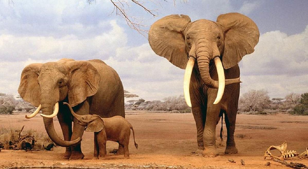 elefanti avorio