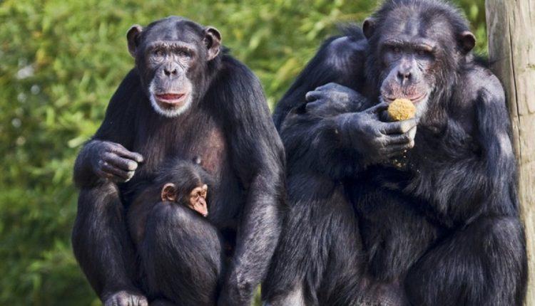 famiglia-di-scimpanze